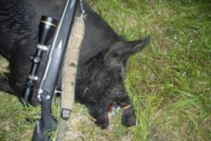 News & Tips: A Florida Hog Hunt