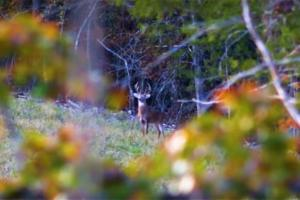 Mature buck standing alert on a hillside looking towards where he hears sound