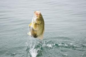 Smallmouth bass jumping