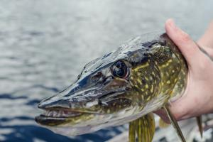 Angler holding a northern pike with the pike facing you