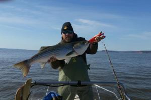 Striped Bass fishing. Angler standing in boat holding up a large striped bass.