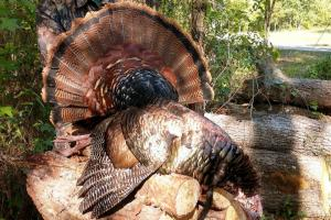 Braggin' Board Photo: Nice Gobbler