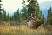 Elk: Copyright Denver Bryan/ Images On The Wildside 2016...