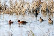 News & Tips: Fix These 7 Early Teal Season Mistakes...