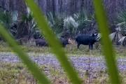 News & Tips: Hog Hunting in Alabama  (video)