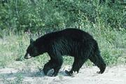 News & Tips: Prepare for Black Bear: A Bowhunter's Guide...