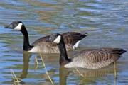 News & Tips: Canada Goose Hunting Basics, How & Where to Hunt...