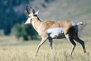 News & Tips: 8 Tips for Spot and Stalk Antelope Hunting...