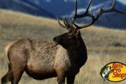 Large bull elk standing in a field